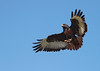 Jackal Buzzard by Philip Fourie