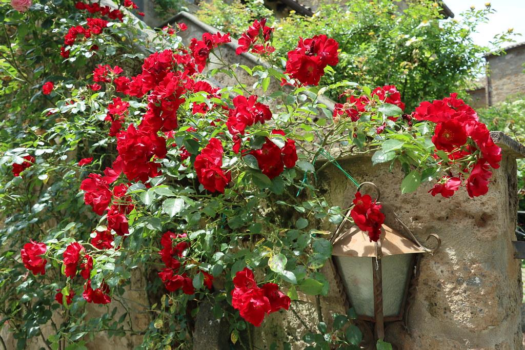 Fiori Rossi.Fiori Rossi Red Flowers Kpmst7 Flickr