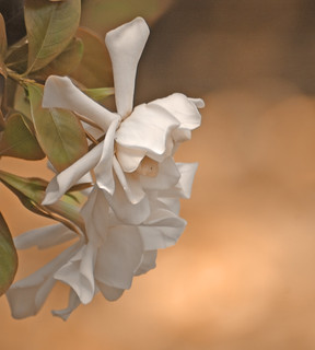 Gardenias In My Yard | by lynne bernay-roman