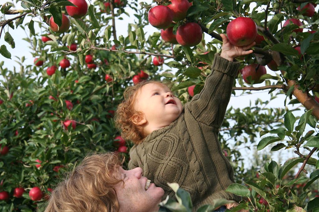 Apple picking 2006