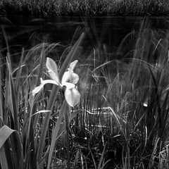 Iris, Crystal River