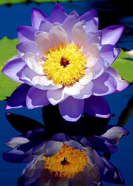 Hardy Waterlily