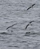 Shearwaters2 by blueeyes_inoki