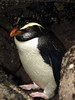 Fiordland Crested Penguin 3 by Linrod
