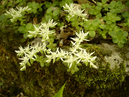 geotagged tennessee crassulaceae sedum hamiltoncounty stonecrop sedumternatum northchickamaugacreekgreenway geo:lat=351173 geo:lon=852242