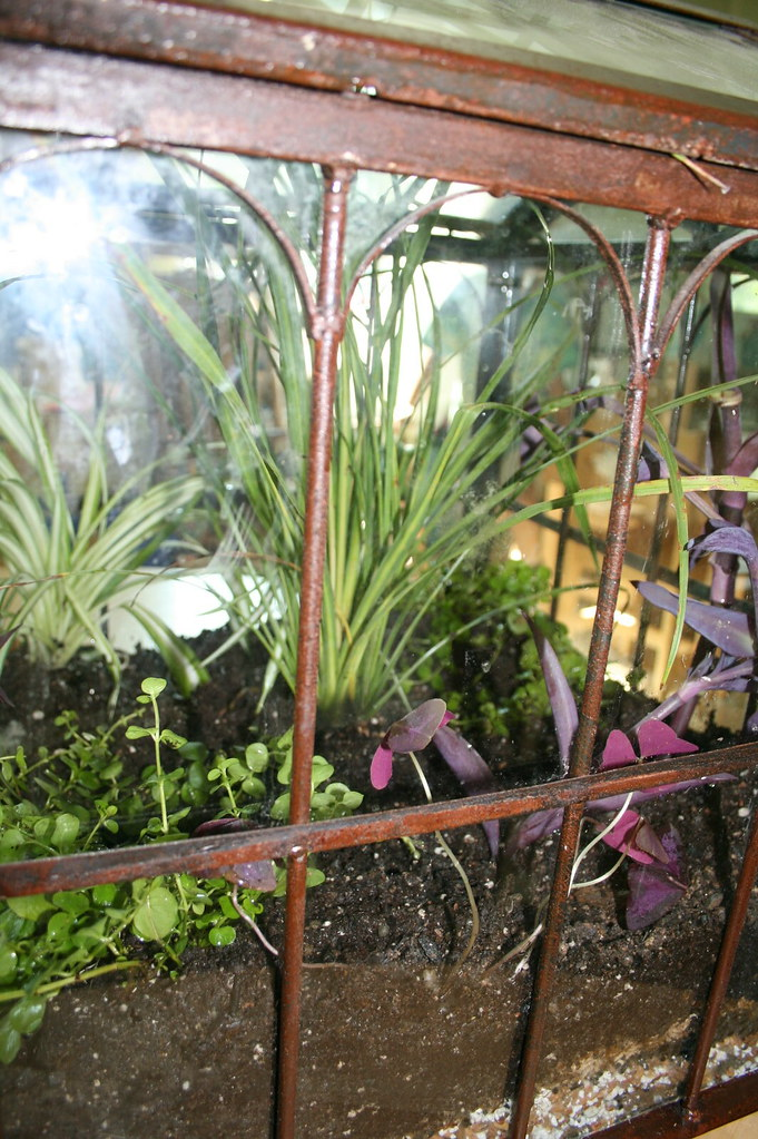 Low Light Terrarium Plants Moneywort Spider Or Airplane Pl Flickr