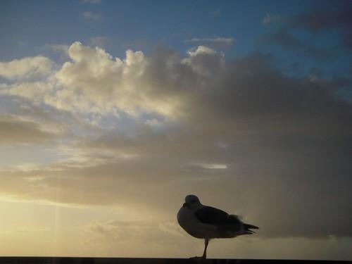 ocean oregon coast or seagull pacificocean lincolncity