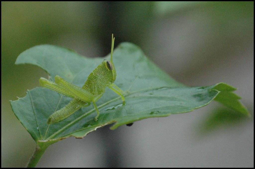 Green Grasshopper Eating My Hibiscus Leaves Saveena Aka Lhdugger