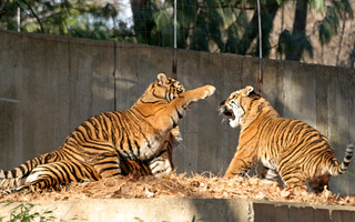Tigers @ National Zoo 014 | by smata2