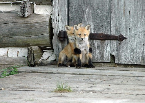 Baby Foxes Cottage Life Photo Contest Winner | by Wenda Atkin