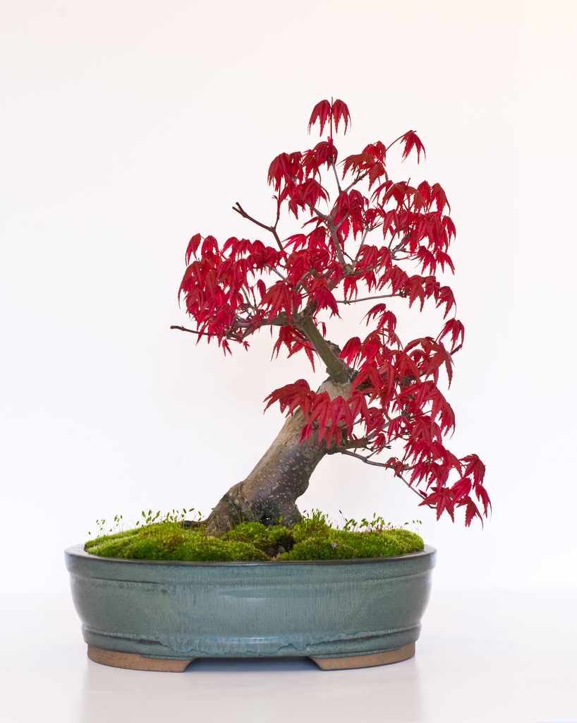 Bonsai Tree Japanese Maple Acer Palmatum Deshojo Bac Flickr