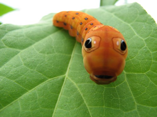 Spicebush swallowtail caterpillar (Papilio troilus) | by Michael Hodge