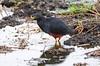 Rufous-bellied Heron (Ardeola rufiventris) by Ian N. White