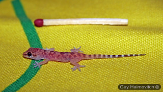 Tiny Gecko (Hemidactylus turcicus) שממית בתים, A visitor from the wild | by HyperViper