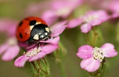 Ladybird on pink flowers   by nutmeg66