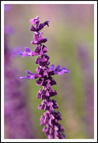 flower film flora fuji bokeh michigan canoneos5 2007 sensia canonef70200mmf4lusm macromix