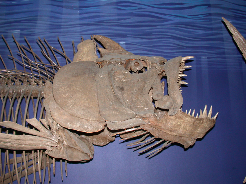 Xiphactinus audax | On display at the Museum of Aincient ...