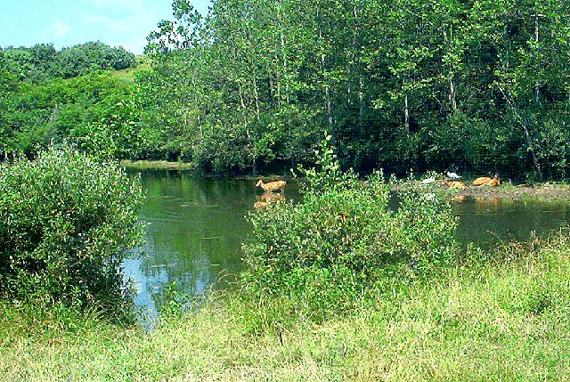Deer in pond