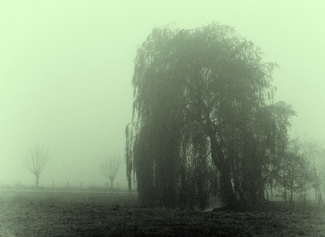 weeping willow in the mist