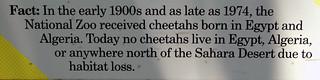 Cheetah Fact #2