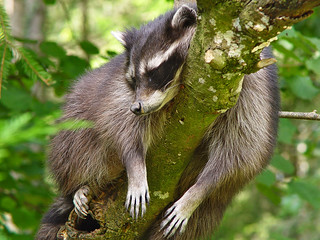 Raccoon sleeping in a tree | by Tambako the Jaguar