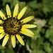 Arctotheca calendula - Photo (c) David Midgley, osa oikeuksista pidätetään (CC BY-NC-ND)