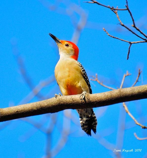 Red-bellied Woodpecker  Male Fall 2010