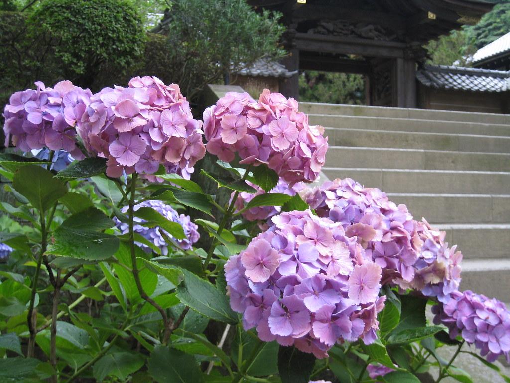 Kamakura 明月院的紫陽花 Codilia Flickr