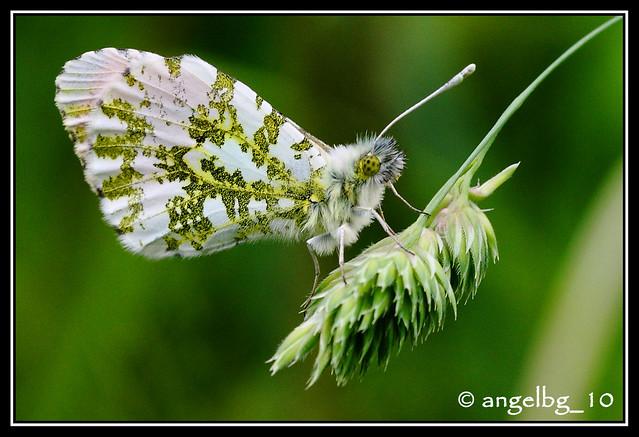 Mariposa Aurora o Musgosa (detalle)