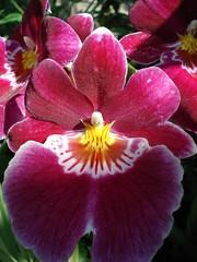DSC02019 Orchidee