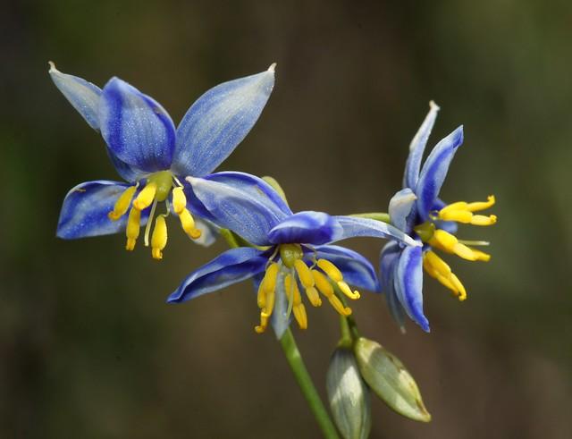 Blue Stypandra glauca