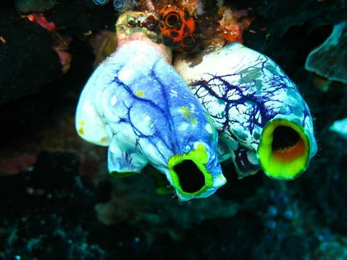 Sea Squirts | by prilfish
