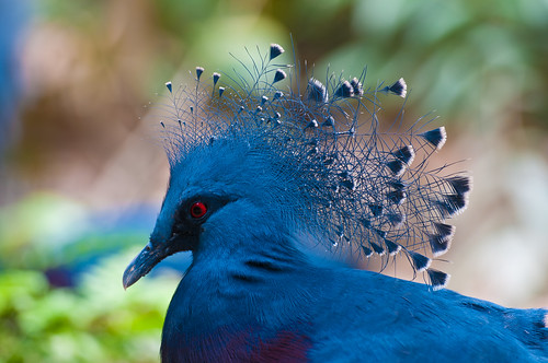 park blue bird animal nikon singapore dof pigeon wing beak crown bluecrown jurongbirdpark birdpark bluepigeon westerncrownedpigeon commoncrownedpigeon bluecrownedpigeon vrii nikond300s 70200mmf28gvrii nikon70200mmf28vrii nikon70200mmf28gvrii