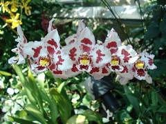 DSC02008 Orchidee