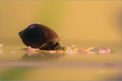pond_snail | by maxxum