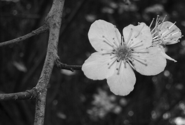 Wintery cherry-plum blossoms - b-w 8x12