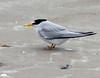 Least Tern (Sterna antillarum) by Ardeola