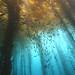 Kelp Forest by lar3