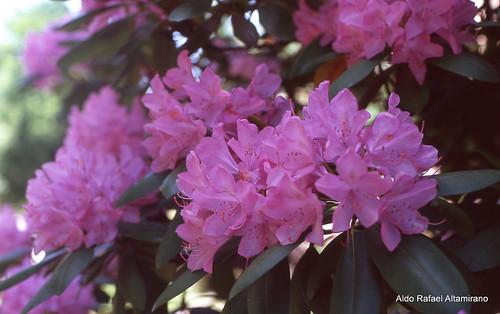 Flowers by Rafakoy