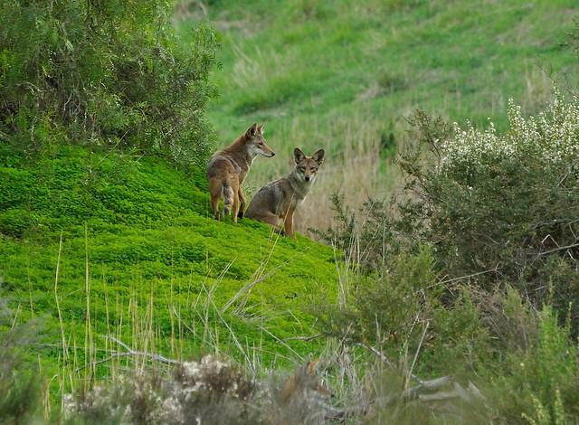 Coyotes, Canis latrans