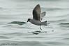 Fork-tailed Storm-Petrel by Michael Woodruff