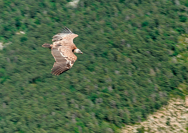 Vulture in Gorges du Verdon