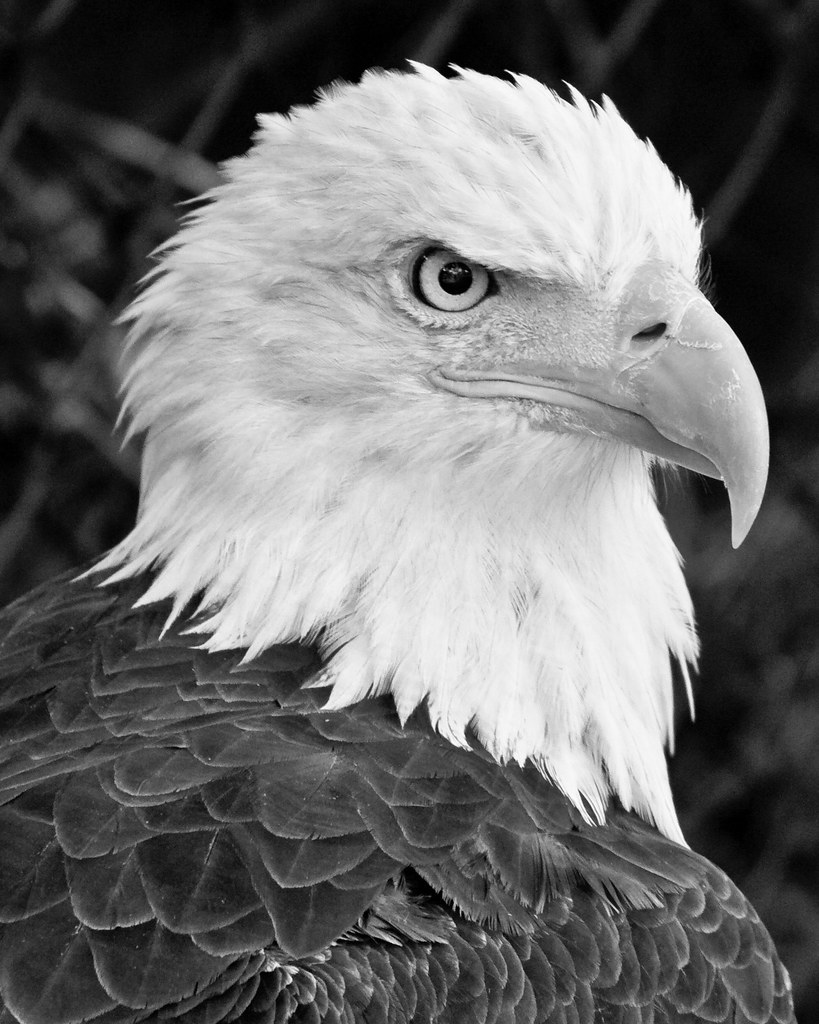 Bald eagle black and white by bpark 42