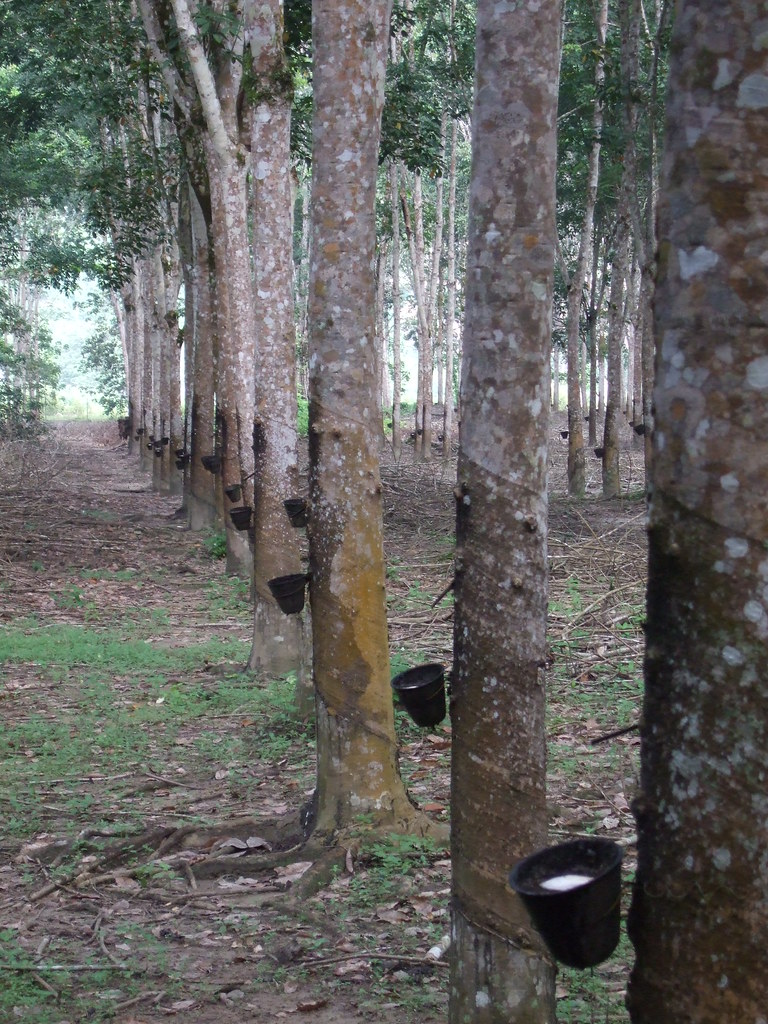 Rubber trees | Rubber is made from the sap  Each morning rub