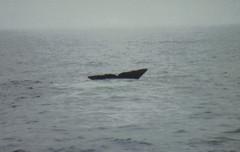 Spermwhale dive4