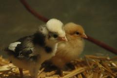 Chickens - 13