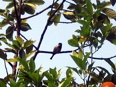 birdintheorangetree