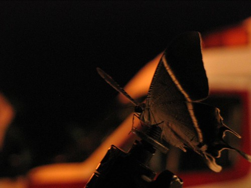 Big-Ass Moth