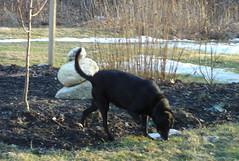 Kindred, a black dog, patrolling her yard