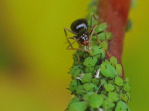 Ant drinking from a droplet of honedew